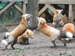 fox_image